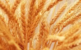 ضربه به تولیدکنندگان گندم با نرخ پایینتر از تورم